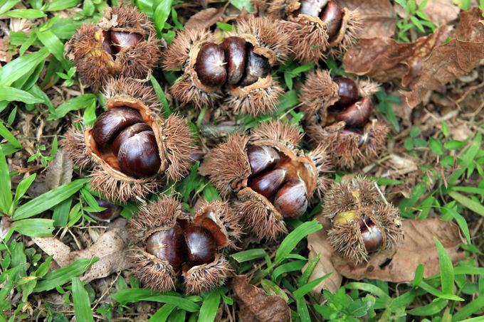 Hạt dẻ Trúng Khánh màu vàng sẫm, bùi và thơm ngậy đặc trưng khi ngậm tan ra trong miệng